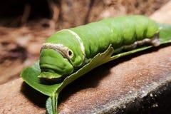 Caterpillar verde en la hoja verde Imágenes de archivo libres de regalías