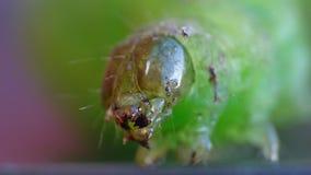 Caterpillar verde - macrofotografia - il Regno Unito fotografia stock libera da diritti