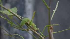 Caterpillar verde que come la hoja almacen de metraje de vídeo
