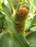 Caterpillar verde que sube fotografía de archivo libre de regalías