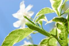 Caterpillar verde sulla foglia verde Fotografia Stock