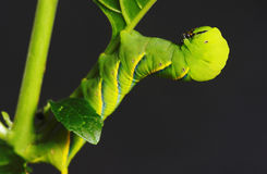 Caterpillar vert Photos stock