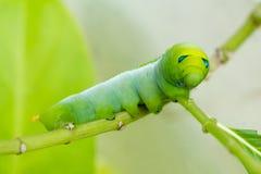 Caterpillar vert Photo libre de droits