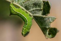 Caterpillar vert sur Apple poussent des feuilles Photographie stock libre de droits