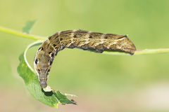 Caterpillar vin Brazhnik Arkivbild