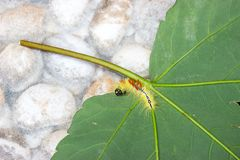 Caterpillar von acronicta aceris auf Blatt Stockfotos