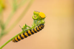 Caterpillar von Tyria-jacobaeae Stockbild