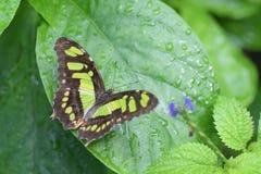 Caterpillar w metamorfizację w motyla Fotografia Royalty Free