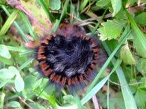 Caterpillar w trawie Fotografia Stock