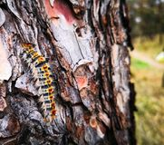 Caterpillar on the tree. Caterpillar waking on the tree bark Royalty Free Stock Photography