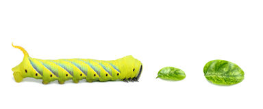 Caterpillar walking to tha leaves on white background. Royalty Free Stock Photo