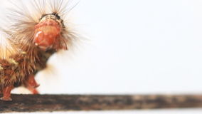 Caterpillar walking on wood stick. Royalty Free Stock Photo