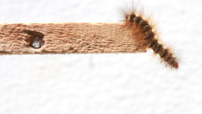 Caterpillar walking on wood stick. Stock Photography
