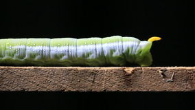 Caterpillar walking on wood stick. stock video footage