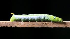 Caterpillar walking on wood stick. stock footage