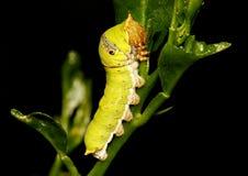 Caterpillar wapna lub cytryny motyl, Papillio demoleus Obrazy Royalty Free
