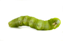 Caterpillar on white background. Stock Photos