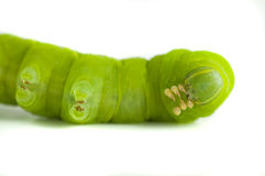 Caterpillar on white background. Stock Images