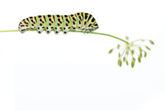 Caterpillar on white background. Green caterpillar on white background Stock Photography