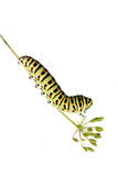 Caterpillar on white background Royalty Free Stock Images