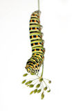 Caterpillar on white background. Green caterpillar on white background Royalty Free Stock Images