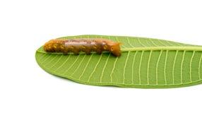 Caterpillar on white background Royalty Free Stock Photo