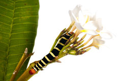 Caterpillar   on white flowers Stock Images