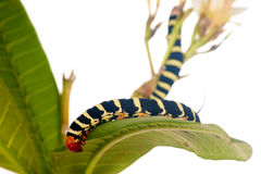 Caterpillar   on white flowers Stock Image