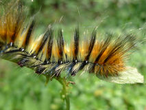 Caterpillar. A wooly caterpillar on the plant Stock Image