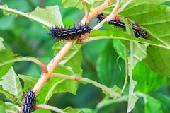 Caterpillar worm black and white striped Walking on leaf Eupterote testacea, Hairy caterpillar select focus with shallow depth. Of field Stock Photos