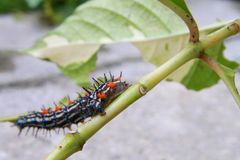 Caterpillar worm black and white striped Walking on leaf Eupterote testacea, Hairy caterpillar select focus with shallow depth. Of field Stock Images