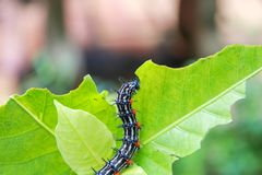 Caterpillar worm black and white striped Walking on leaf Eupterote testacea, Hairy caterpillar select focus with shallow depth. Of field Royalty Free Stock Images