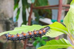 Caterpillar worm black and white striped Walking on leaf Eupterote testacea, Hairy caterpillar select focus with shallow depth. Of field Royalty Free Stock Photo