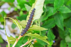 Caterpillar worm black and white striped Walking on leaf  Eupterote testacea, Hairy caterpillar select focus with shallow depth. Of field Royalty Free Stock Photography