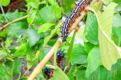 Caterpillar worm black and white striped Walking on leaf Eupterote testacea, Hairy caterpillar select focus with shallow depth. Of field Stock Image