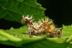 Caterpillar-worm met doornen op een blad stock fotografie