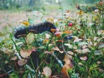 Caterpillar y arándano Fotos de archivo libres de regalías