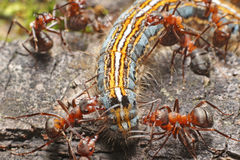 Caterpillar y hormigas Imagen de archivo libre de regalías