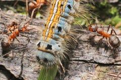 Caterpillar y hormigas Imagen de archivo