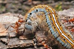 Caterpillar y hormigas Fotografía de archivo libre de regalías