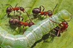 Caterpillar y hormigas Fotografía de archivo