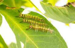 Caterpillar. Yellow back caterpillar rest on green leaf royalty free stock photo