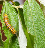 Caterpillar of yellow coster butterfly resting on leaf Royalty Free Stock Image