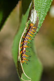 Caterpillar of yellow coster butterfly resting on leaf Stock Photos
