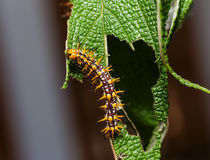 Caterpillar of yellow coster butterfly resting on leaf Stock Photography