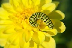 Caterpillar on yellow flowe Royalty Free Stock Image