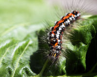 Caterpillar of the Yellow-tail moth Euproctis similis, black l Royalty Free Stock Photo