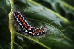 Caterpillar of the Yellow-tail moth Euproctis similis, black l Stock Photos