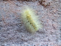 Caterpillar. Yellow caterpillar on wall with sharp spike Stock Images
