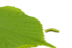 Caterpillar and young hazel leaf Stock Photography